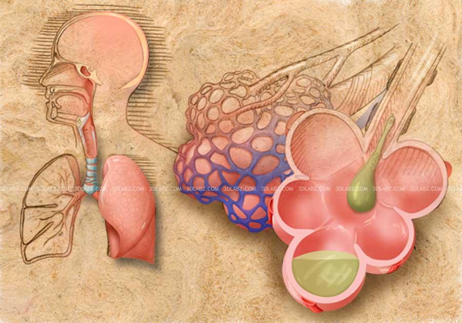Alveoli With Mucus 2d Illustration Alveoli Structure