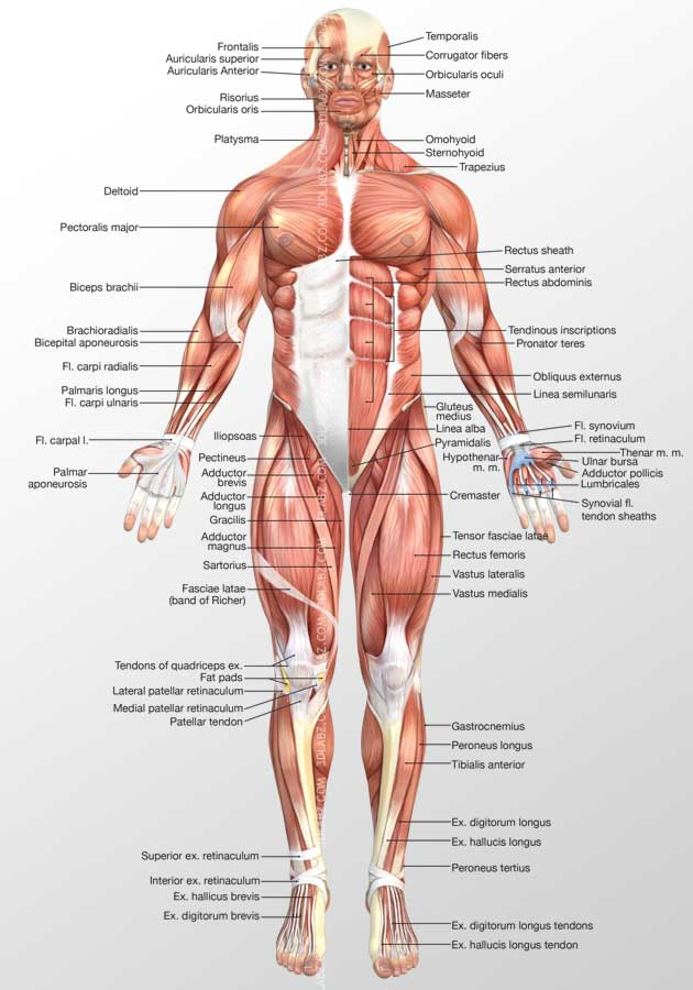 Anterior Muscles 3d Illustration 3d Muscles Illustration Samples