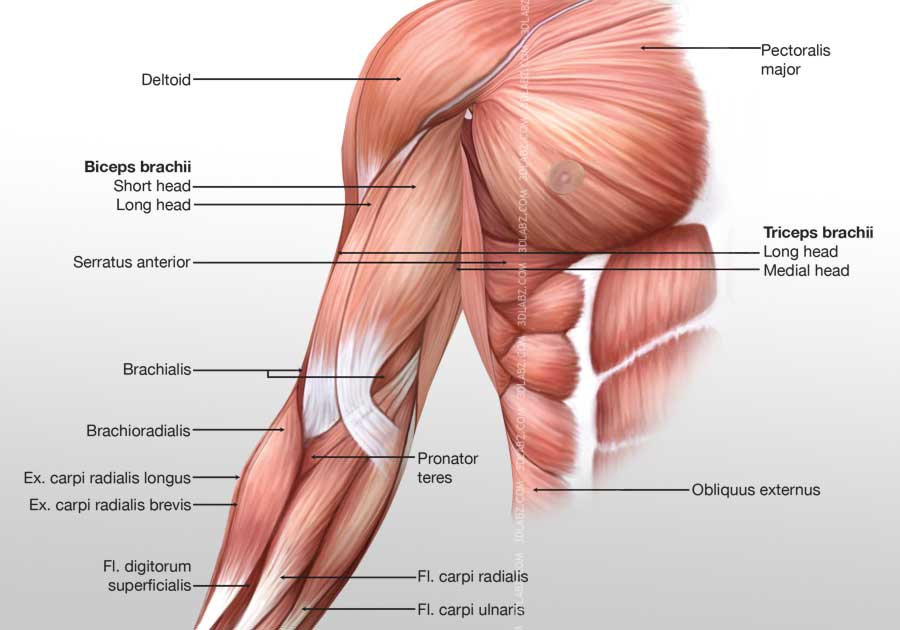 Arm Anterior Muscles 3d Illustration Labeled