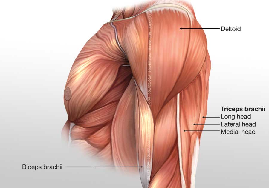 Arm Posterior Muscles 3d Illustration