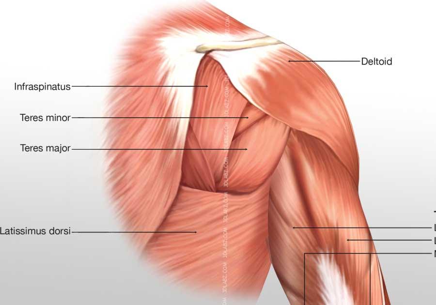 Posterior arm anatomy