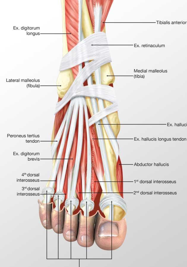 foot dorsal muscles 3d illustration | best medical illustrators india, Human body