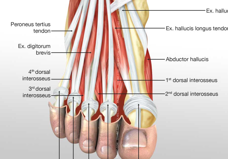 Foot Muscles – defenderauto.info