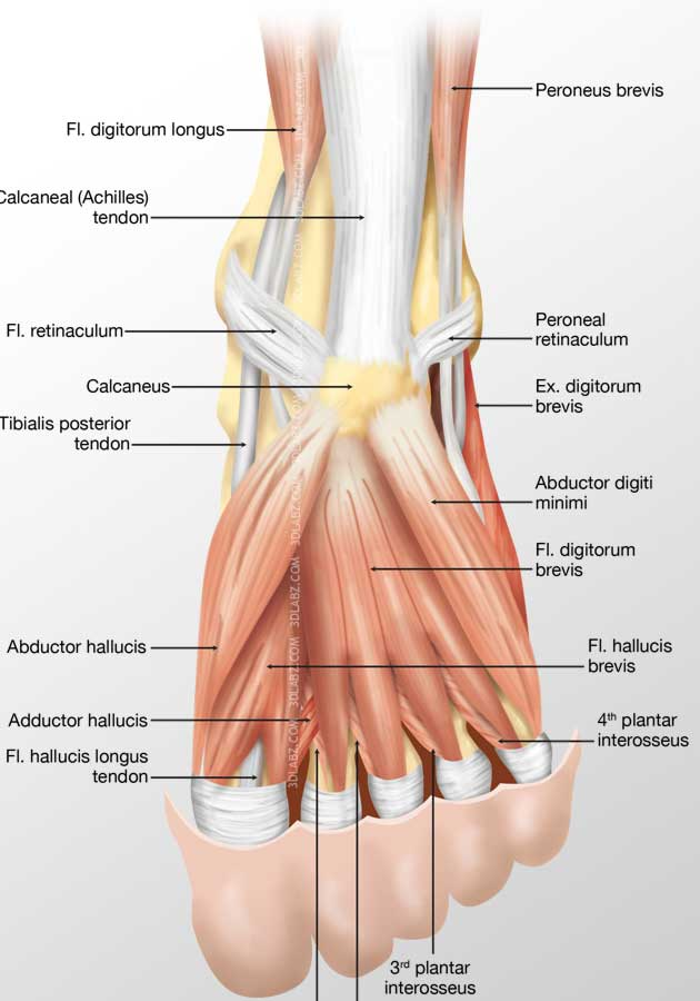 Foot Plantar Muscles Illustration | Images, Price