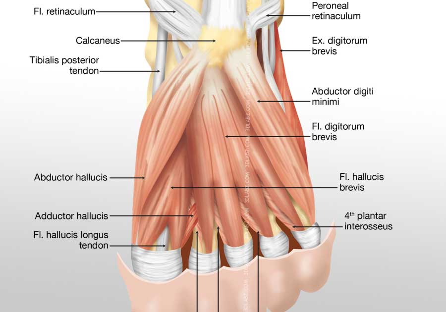 Foot Medial Muscles Illustration | Images and Pictures