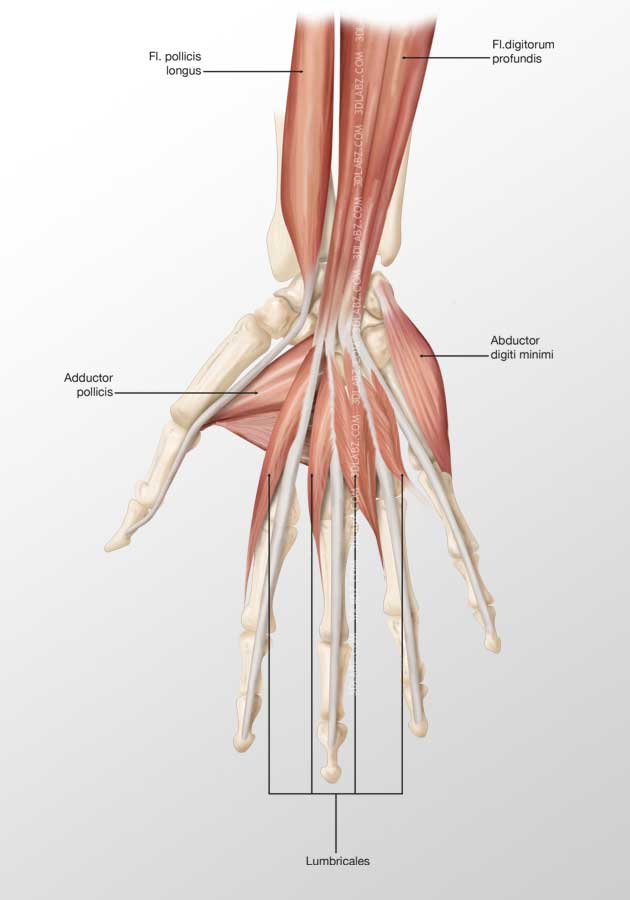 Hand Palmar Muscles 3D Illustration and Rendering