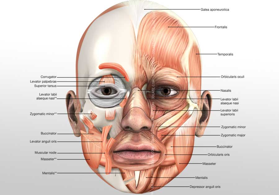 Head Muscles 3d Illustration Muscle 3d Anatomy
