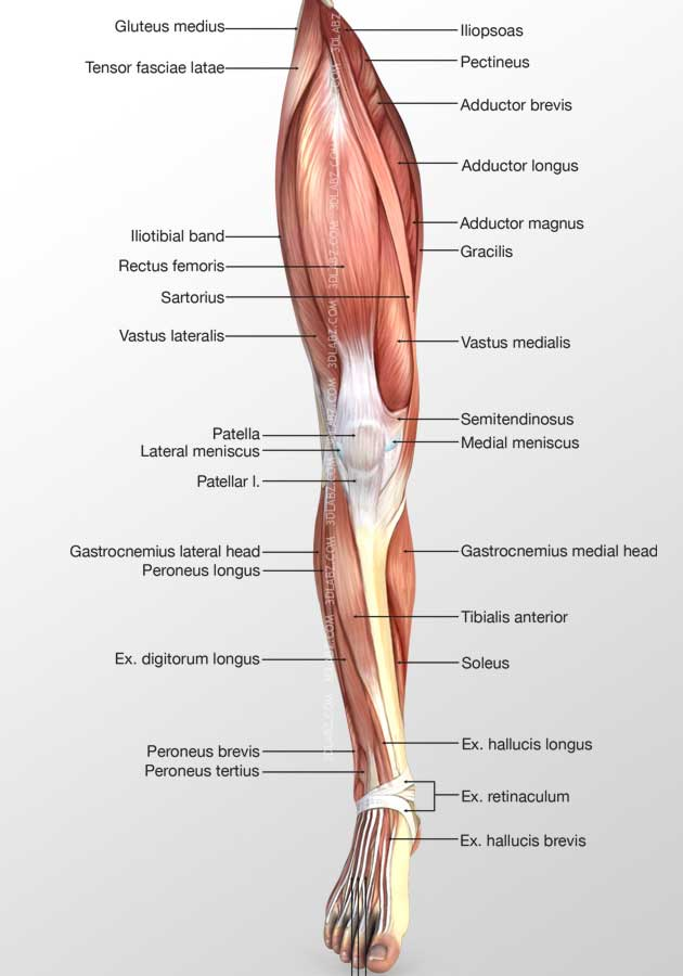 Muscles Of Leg Anatomy Gallery - human body anatomy