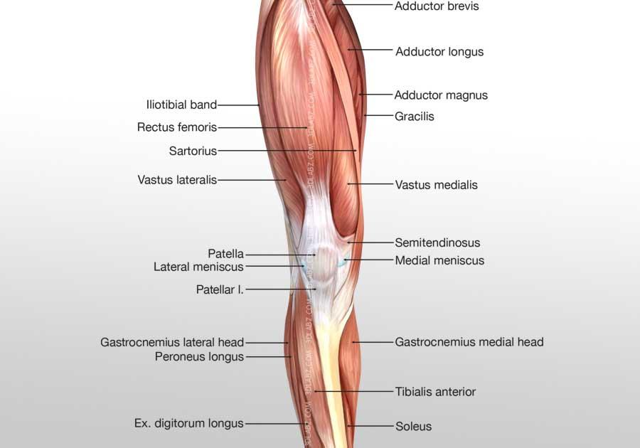 Leg Posterior Muscles 3D Illustration