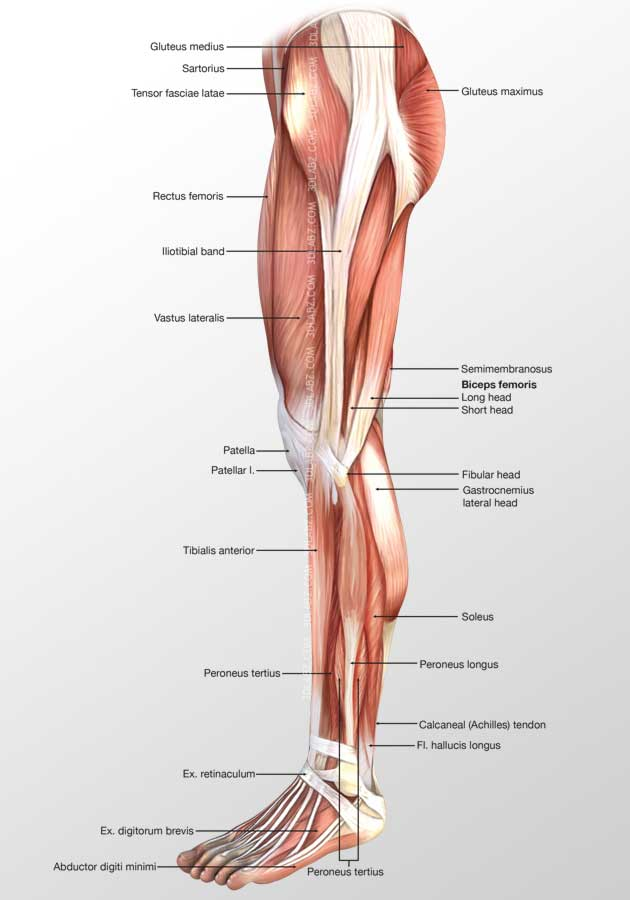 Leg Lateral Muscles 3d Illustration Medical Graphic 3d Artist India