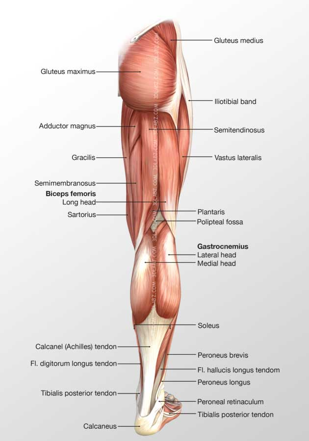 Leg Posterior Muscles 3D Illustration